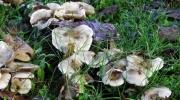 Farandole champignonesque