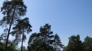 De grands pins sur le plateau