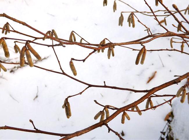 Une branche de noisetier