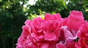 Rose enivrante