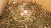 Quatre œufs viennent d\'être pondus