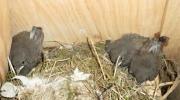 En attendant de pouvoir voler, les oisillons piétinent autour du nid