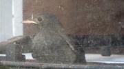 Un des oisillons photographié à travers d\'une vitre pas très propre