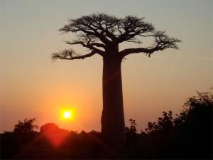 Un baobab joue avec le soleil