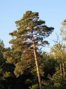 Les pins donnent un petit air de vacances