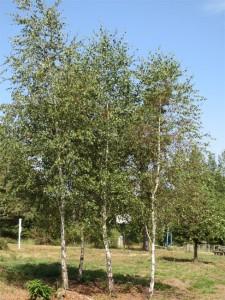 Les bosquets de bouleaux se développent