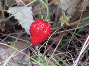 Une fraise des bois dans le Périgord vert