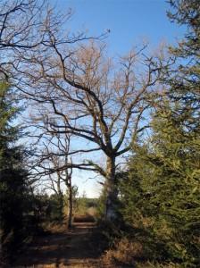 Le grand chêne centenaire