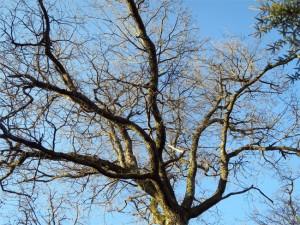 La ramure du chêne centenaire