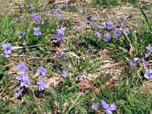 Des tapis de violettes fleurissent un peu partout