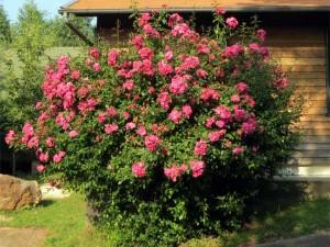 Des roses bien roses