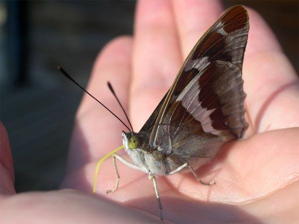 Un papillon dompté