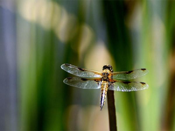 Une autre libellule à 4 tâches