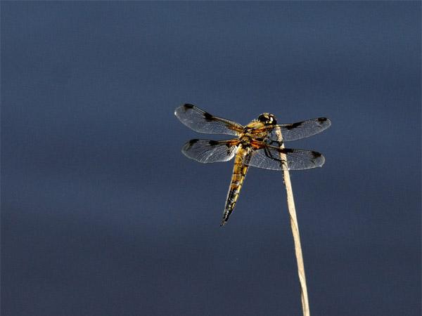 Une libellule à 4 tâches
