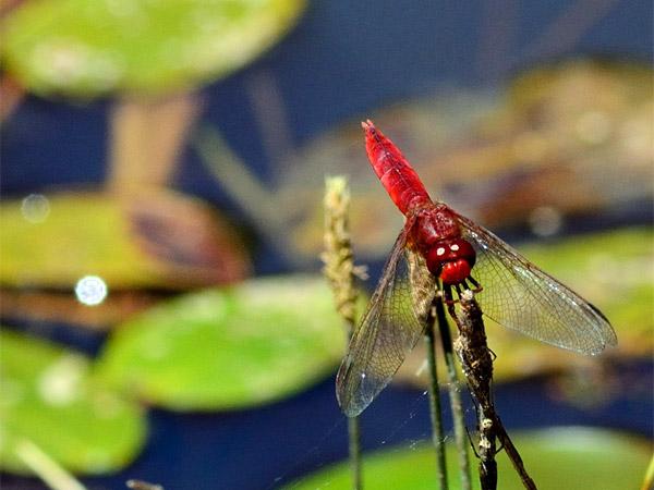 Une libellule écarlate