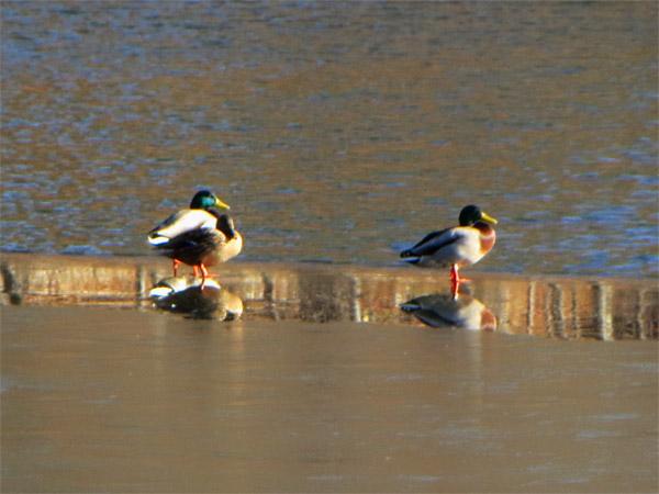 Les canards ont plaisir à marcher sur la glace
