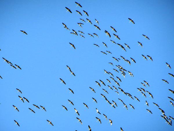 Vol de grues remontant vers le nord