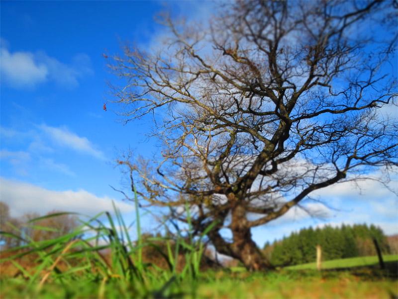 Chêne à Milhac de Nontron